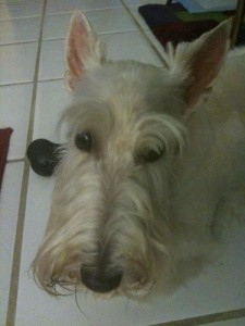 Dandy - The Craziest Female Scottish Terrier the World Has Ever Known
